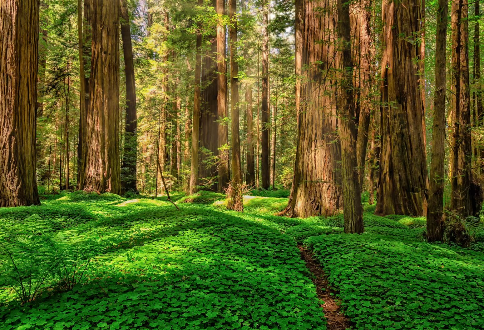A path leading through a forest of redwoods in California
